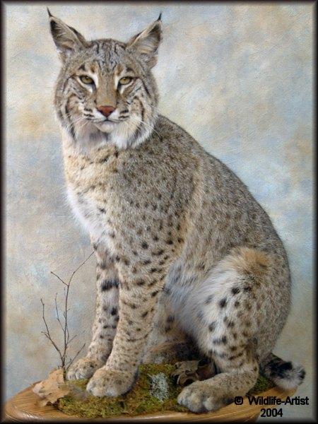 Pics Of Your Bobcat Mount