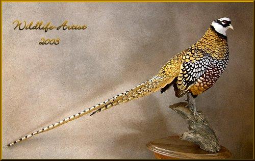 Reeves Pheasant Pictures Reeves Pheasant