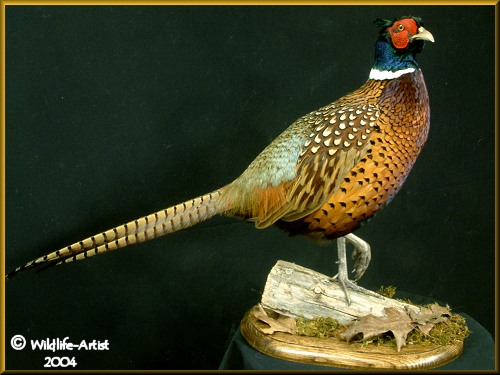 Ringneck+pheasant+taxidermy